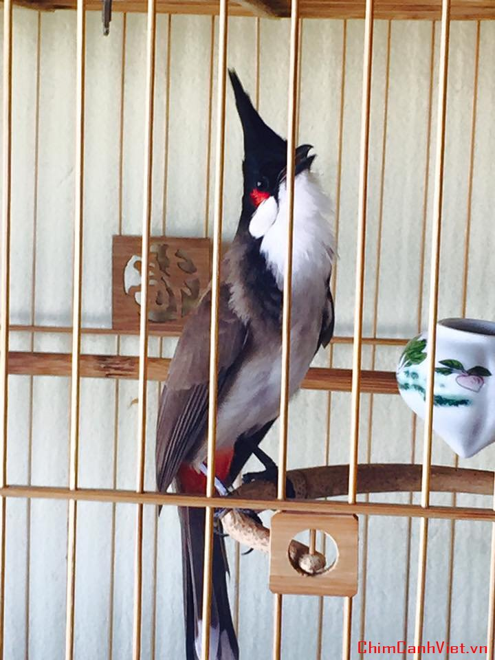 Kỹ thuật nuôi và cách chăm sóc chim Chào mào hót hay như ý muốn