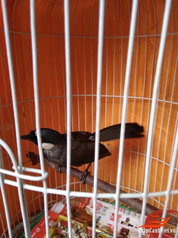 Kỹ thuật nuôi chim Khướu Bạc Má - Phần 3