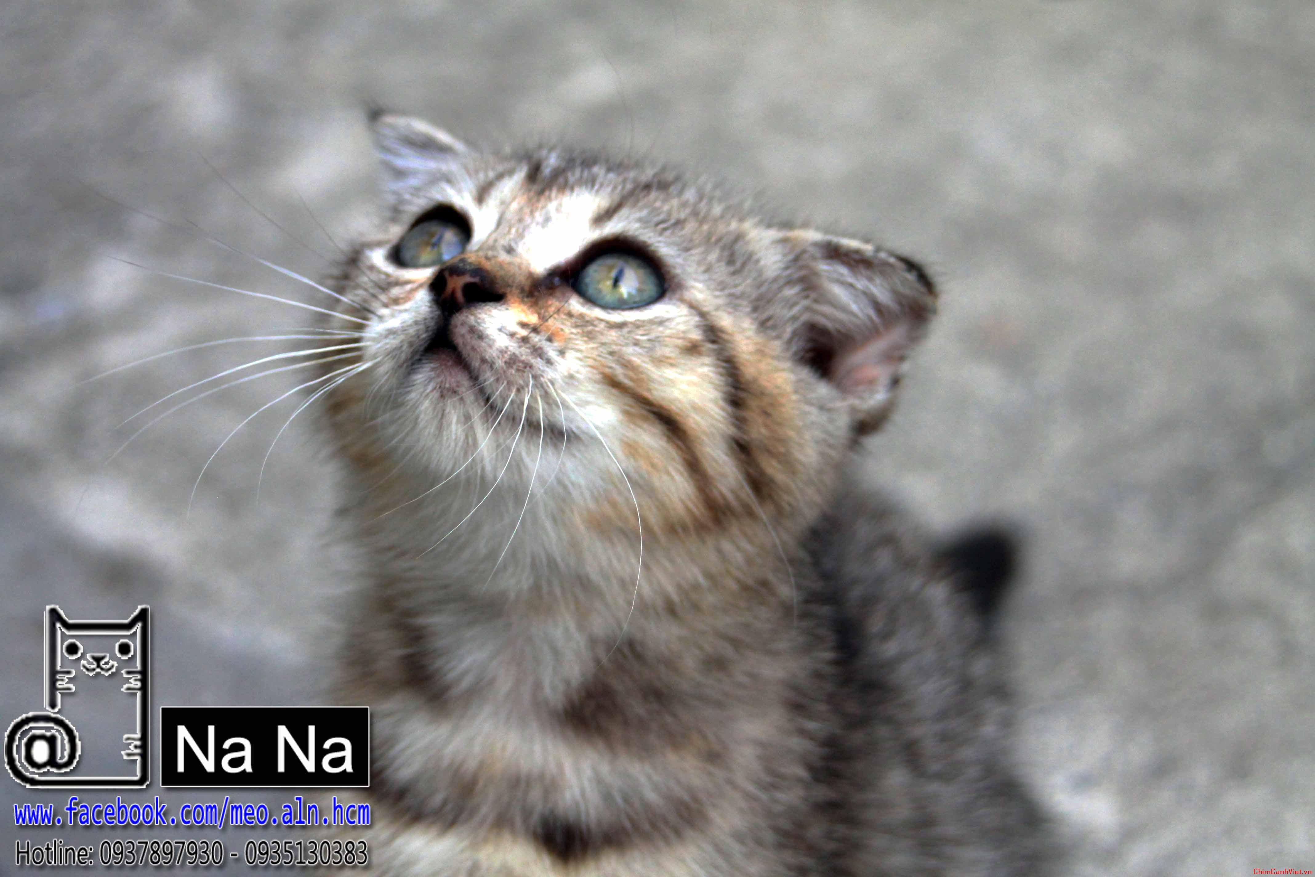 mèo aln, mèo anh lông ngắn, meo aln thuan chung, bán mèo aln tphcm, mèo aln thuần chủng (0).JPG