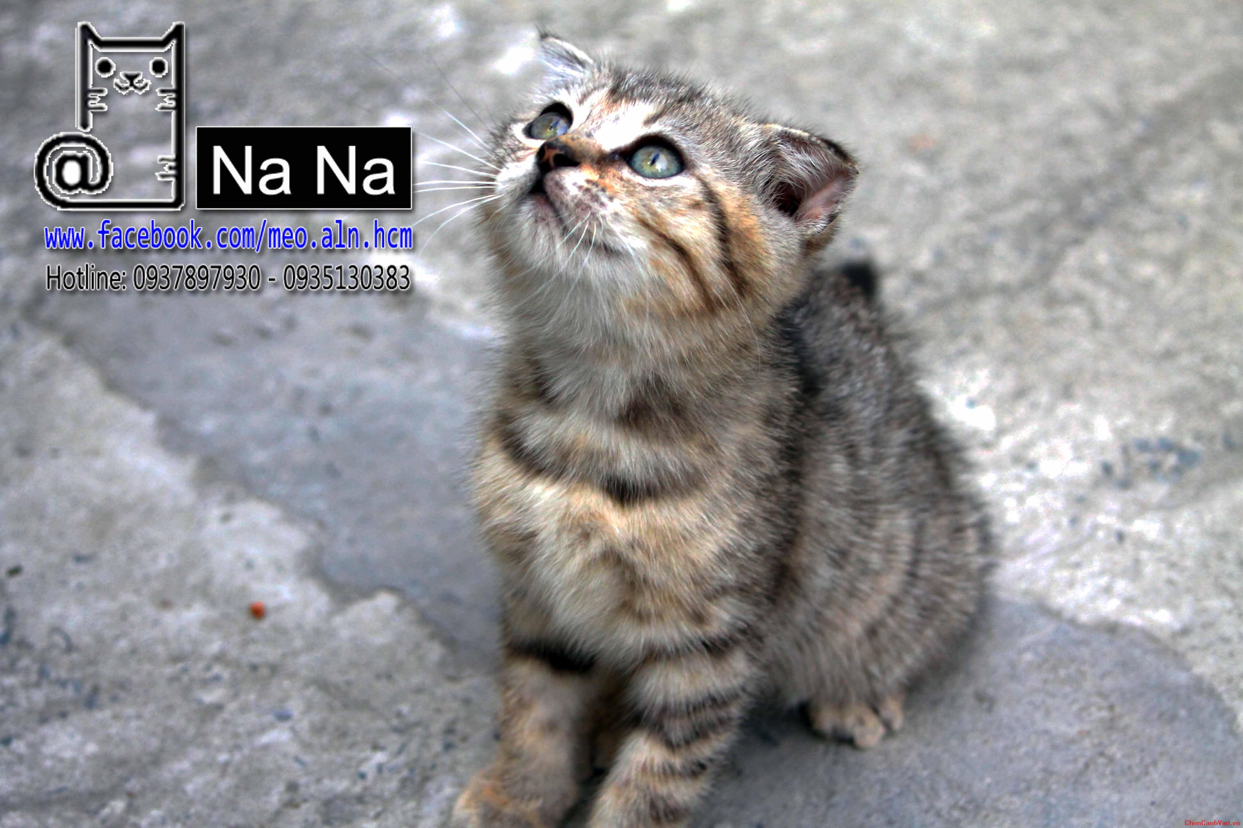 mèo aln, mèo anh lông ngắn, meo aln thuan chung, bán mèo aln tphcm, mèo aln thuần chủng (3).JPG