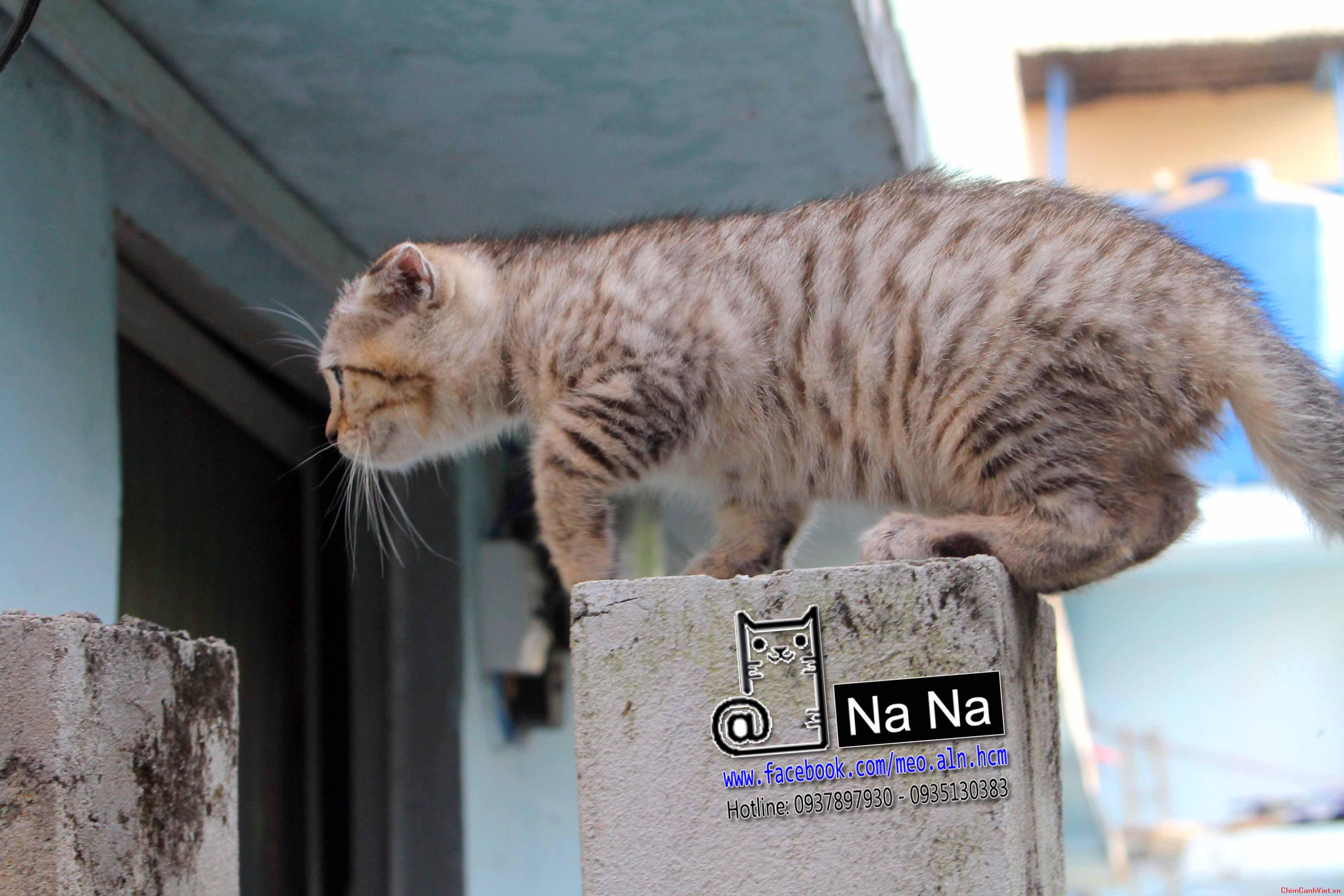 mèo aln, mèo anh lông ngắn, meo aln thuan chung, bán mèo aln tphcm, mèo aln thuần chủng (5).JPG