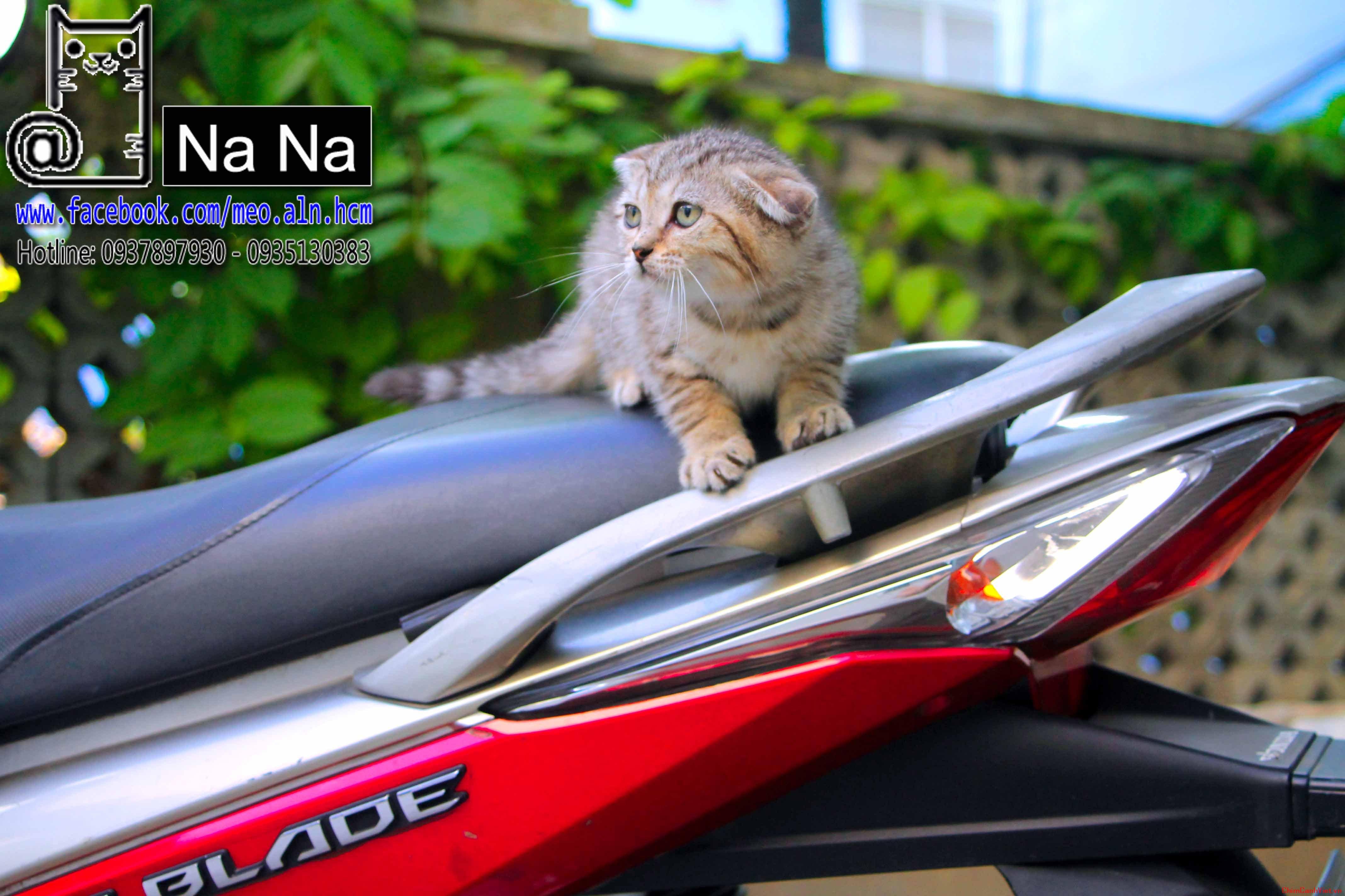 mèo aln, mèo anh lông ngắn, meo aln thuan chung, bán mèo aln tphcm, mèo aln thuần chủng (6).JPG