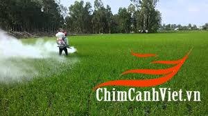 phun vôi bột xử lý bệnh đạo ôn trên cây lúa.jpg