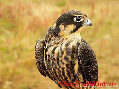 young-hobby-falcon-12468171.jpg