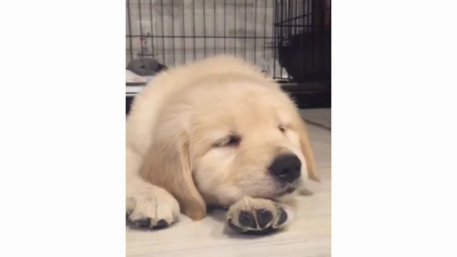 Cute and funny golden retriever puppies - Cute dogs doing funny things 2018