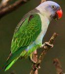Blue-rumped parrot