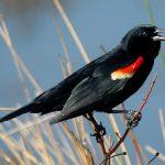Tricoloured blackbird