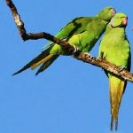 Mauritius parakeet
