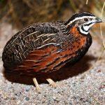 Harlequin quail