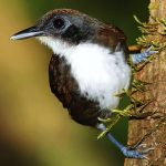 Bicoloured antbird