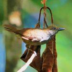 Brown-bellied antwren