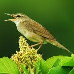 Pleske's grasshopper-warbler