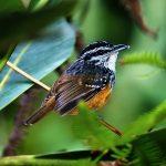 Guianan warbling antbird