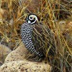 Montezuma quail