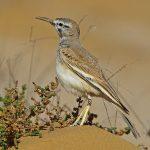 Greater hoopoe-lark