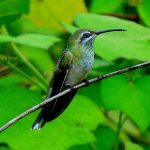 White-tailed goldenthroat