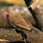 Brown firefinch