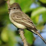 Northern scrub-flycatcher