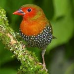 Green-backed twinspot
