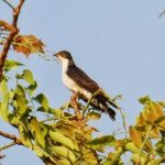 Thick-billed cuckoo