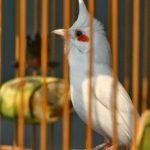 Những điều nên tránh khi nuôi chim chào mào