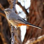 Rufous-vented warbler