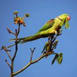 Alexandrine parakeet