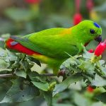 Blue-crowned hanging-parrot