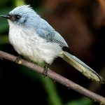 White-tailed crested-flycatcher