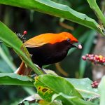 Crested bird-of-paradise