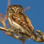 Eurasian pygy-owl