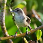 Millerbird