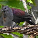 Marquesan ground-dove