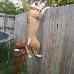 Tình bạn giữa 2 chú cún :) leo tường đi chơi