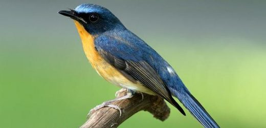 Hill blue-flycatcher