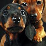 Những bức ảnh các chú chó thể hiện cảm xúc