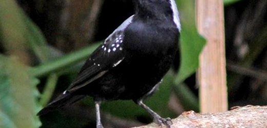 Grey-headed negrofinch