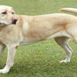 Top 5 chó săn tinh anh nhất thế giới