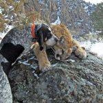 Chó săn sư tử núi