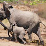 Cảm động cảnh voi con cứu mẹ thoát hàm cá sấu