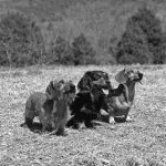 The Long and Short of Dachshund Varieties