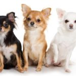 Ten Questions to Ask Chihuahua Breeders