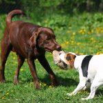 10 điều chỉ có một chủ sở hữu Labrador Retriever sẽ hiểu