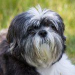 Giới thiệu loài chó Shih Tzu