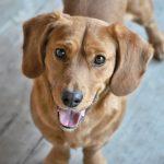 10 lý do võ sĩ quyền Anh có thể là con chó hoàn hảo