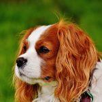 Những hình ảnh siêu đáng yêu của cún Cavalier King Charles Spaniel