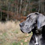 13 giống chó trung thành nhất