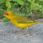 THE SAFFRON FINCH (Sicalis flaveola)