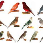 Dạy chim yến hót