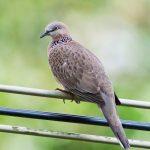 Hướng Dẫn Cách Dạy Chim Cu Gáy Đơn Giản Nhất